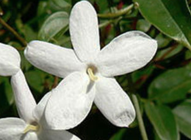 The JASMIN Composition, How to use it in your perfumes?