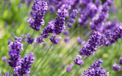 Compose with Lavender composition / play on contrasts