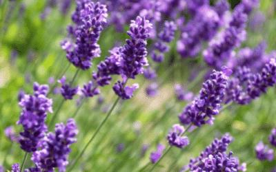 La Composition LAVANDE, Comment l'utiliser dans vos parfums?